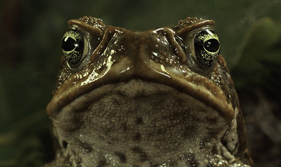 cane-toads-the-conquest-1